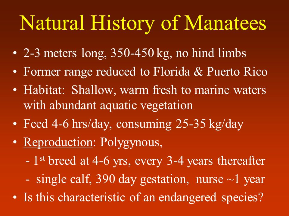 2-3 meters long, 350-450 kg, no hind limbs Former range reduced to Florida & Puerto Rico Habitat: Shallow, warm fresh to marine waters with abundant aquatic vegetation Feed 4-6 hrs/day, consuming 25-35 kg/day Reproduction: Polygynous, - 1 st breed at 4-6 yrs, every 3-4 years thereafter - single calf, 390 day gestation, nurse ~1 year Is this characteristic of an endangered species.