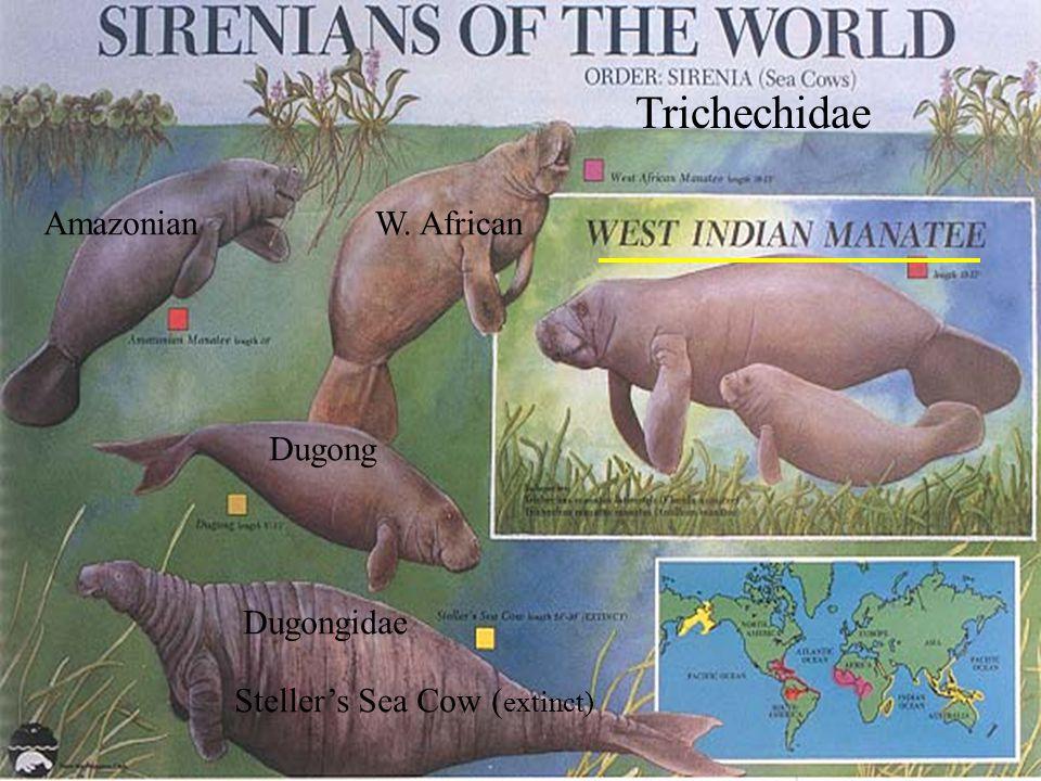 Dugong Steller's Sea Cow ( extinct) Dugongidae Trichechidae W. AfricanAmazonian