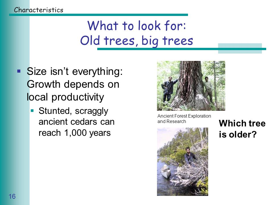 Caring for Your Land Series of Workshop 16 What to look for: Old trees, big trees  Size isn't everything: Growth depends on local productivity  Stunted, scraggly ancient cedars can reach 1,000 years Ancient Forest Exploration and Research Which tree is older.