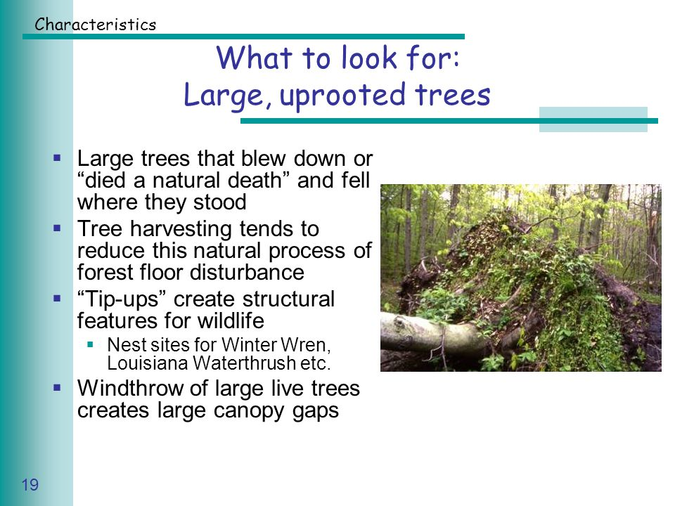 Caring for Your Land Series of Workshop 19 What to look for: Large, uprooted trees  Large trees that blew down or died a natural death and fell where they stood  Tree harvesting tends to reduce this natural process of forest floor disturbance  Tip-ups create structural features for wildlife  Nest sites for Winter Wren, Louisiana Waterthrush etc.
