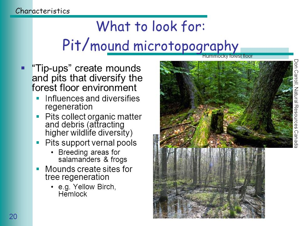 Caring for Your Land Series of Workshop 20 What to look for: Pit / mound microtopography  Tip-ups create mounds and pits that diversify the forest floor environment  Influences and diversifies regeneration  Pits collect organic matter and debris (attracting higher wildlife diversity)  Pits support vernal pools Breeding areas for salamanders & frogs  Mounds create sites for tree regeneration e.g.