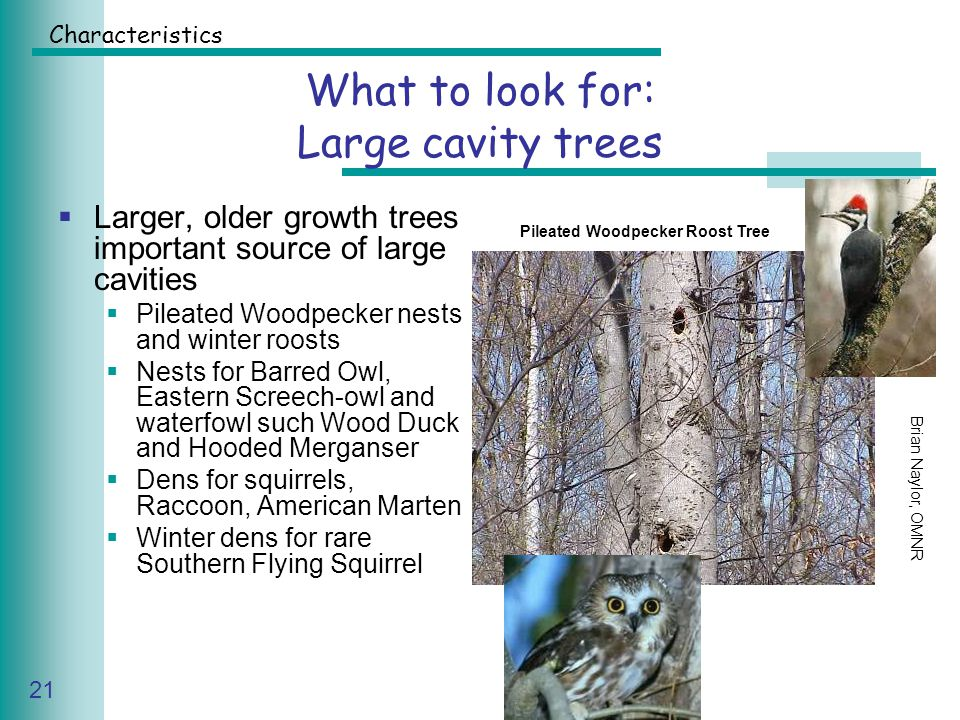 Caring for Your Land Series of Workshop 21 What to look for: Large cavity trees  Larger, older growth trees important source of large cavities  Pileated Woodpecker nests and winter roosts  Nests for Barred Owl, Eastern Screech-owl and waterfowl such Wood Duck and Hooded Merganser  Dens for squirrels, Raccoon, American Marten  Winter dens for rare Southern Flying Squirrel Brian Naylor, OMNR Pileated Woodpecker Roost Tree Characteristics