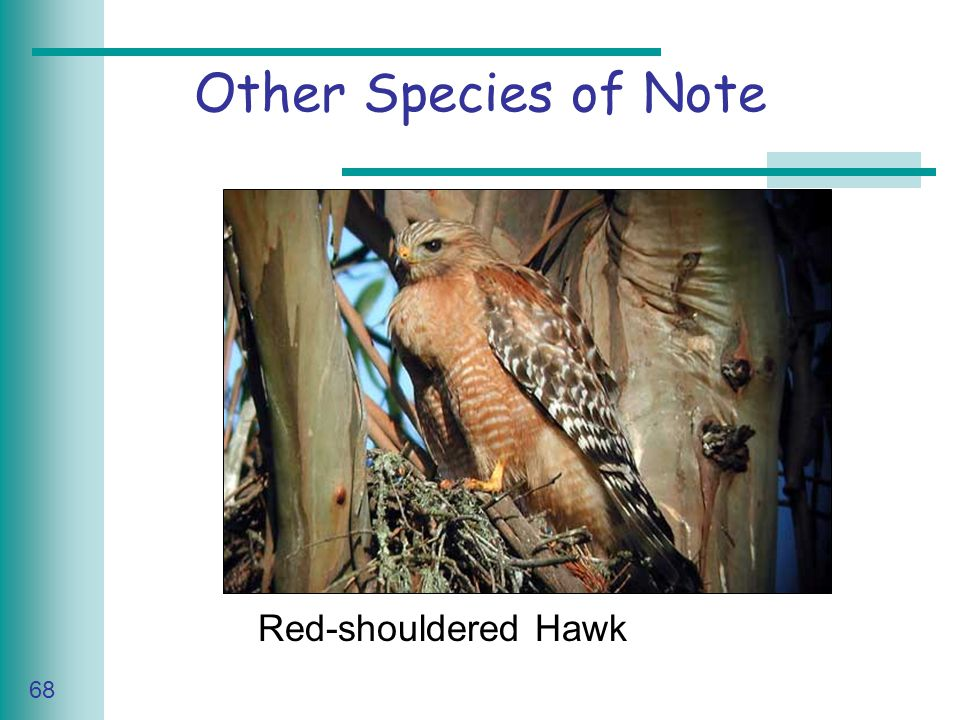 Caring for Your Land Series of Workshop 68 Other Species of Note Red-shouldered Hawk