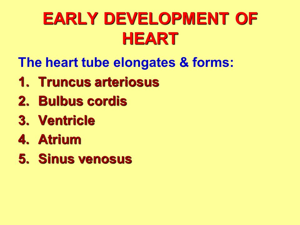 The heart tube elongates & forms: 1.Truncus arteriosus 2.Bulbus cordis 3.Ventricle 4.Atrium 5.Sinus venosus