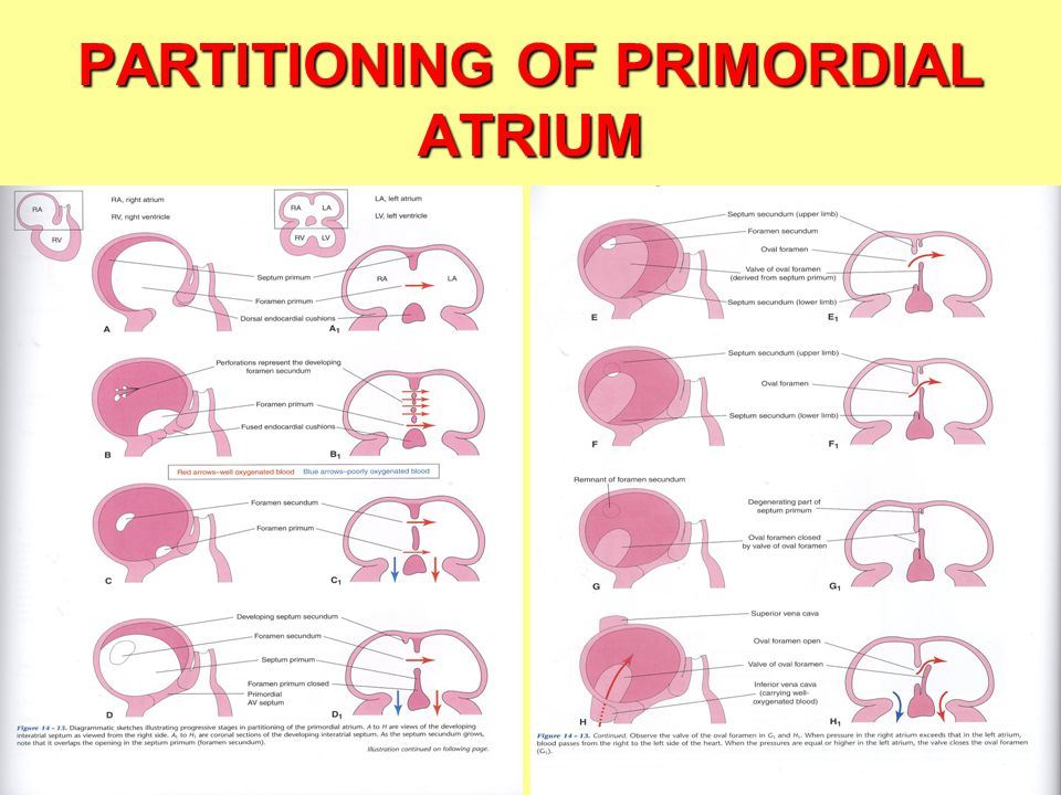 PARTITIONING OF PRIMORDIAL ATRIUM