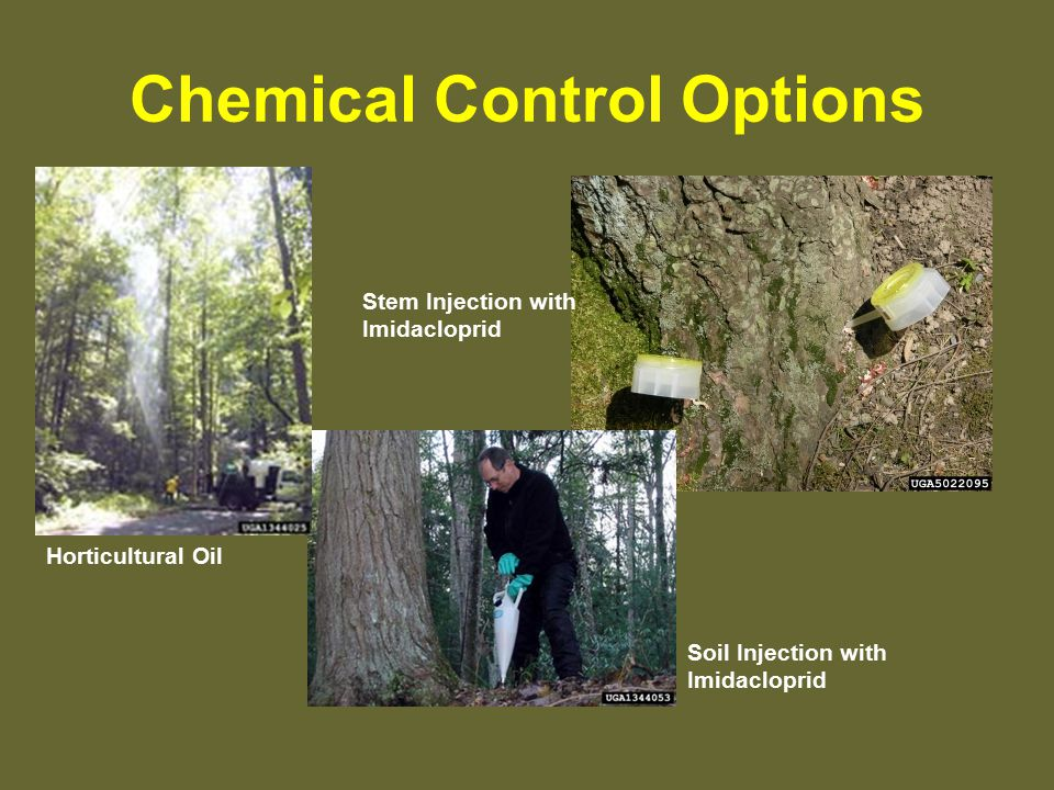 Chemical Control Options Horticultural Oil Soil Injection with Imidacloprid Stem Injection with Imidacloprid