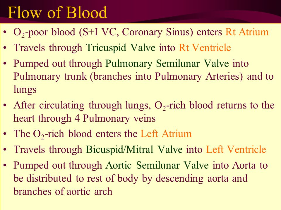 Flow of Blood O 2 -poor blood (S+I VC, Coronary Sinus) enters Rt Atrium Travels through Tricuspid Valve into Rt Ventricle Pumped out through Pulmonary Semilunar Valve into Pulmonary trunk (branches into Pulmonary Arteries) and to lungs After circulating through lungs, O 2 -rich blood returns to the heart through 4 Pulmonary veins The O 2 -rich blood enters the Left Atrium Travels through Bicuspid/Mitral Valve into Left Ventricle Pumped out through Aortic Semilunar Valve into Aorta to be distributed to rest of body by descending aorta and branches of aortic arch