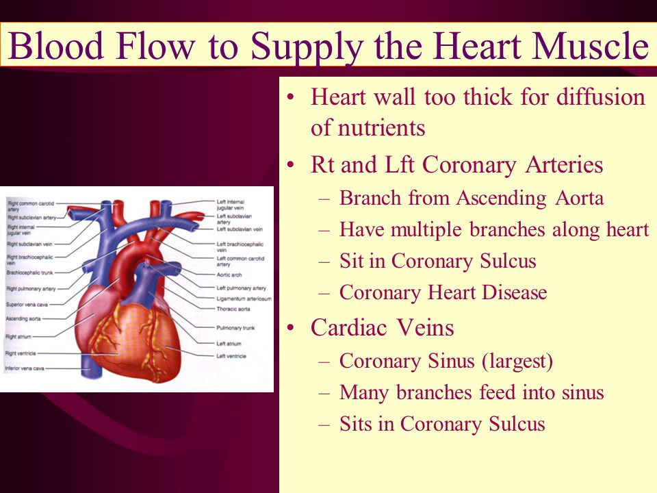 Blood Flow to Supply the Heart Muscle Heart wall too thick for diffusion of nutrients Rt and Lft Coronary Arteries –Branch from Ascending Aorta –Have multiple branches along heart –Sit in Coronary Sulcus –Coronary Heart Disease Cardiac Veins –Coronary Sinus (largest) –Many branches feed into sinus –Sits in Coronary Sulcus
