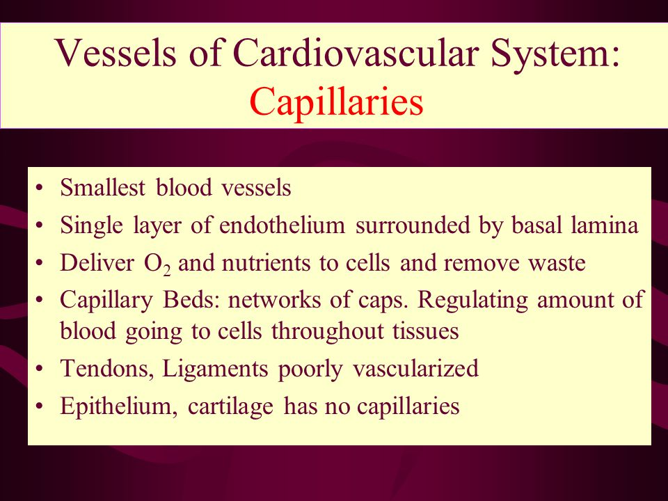 Vessels of Cardiovascular System: Capillaries Smallest blood vessels Single layer of endothelium surrounded by basal lamina Deliver O 2 and nutrients to cells and remove waste Capillary Beds: networks of caps.