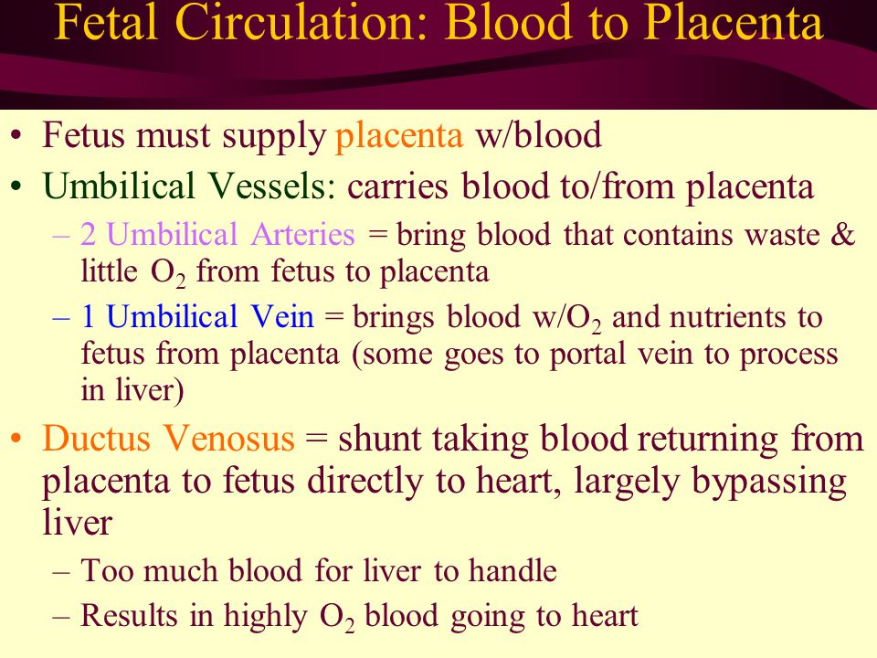 Fetal Circulation: Blood to Placenta Fetus must supply placenta w/blood Umbilical Vessels: carries blood to/from placenta –2 Umbilical Arteries = bring blood that contains waste & little O 2 from fetus to placenta –1 Umbilical Vein = brings blood w/O 2 and nutrients to fetus from placenta (some goes to portal vein to process in liver) Ductus Venosus = shunt taking blood returning from placenta to fetus directly to heart, largely bypassing liver –Too much blood for liver to handle –Results in highly O 2 blood going to heart