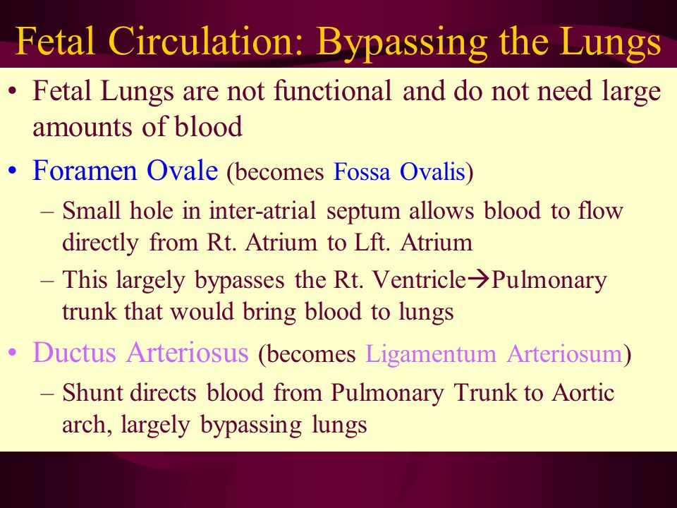 Fetal Circulation: Bypassing the Lungs Fetal Lungs are not functional and do not need large amounts of blood Foramen Ovale (becomes Fossa Ovalis) –Small hole in inter-atrial septum allows blood to flow directly from Rt.