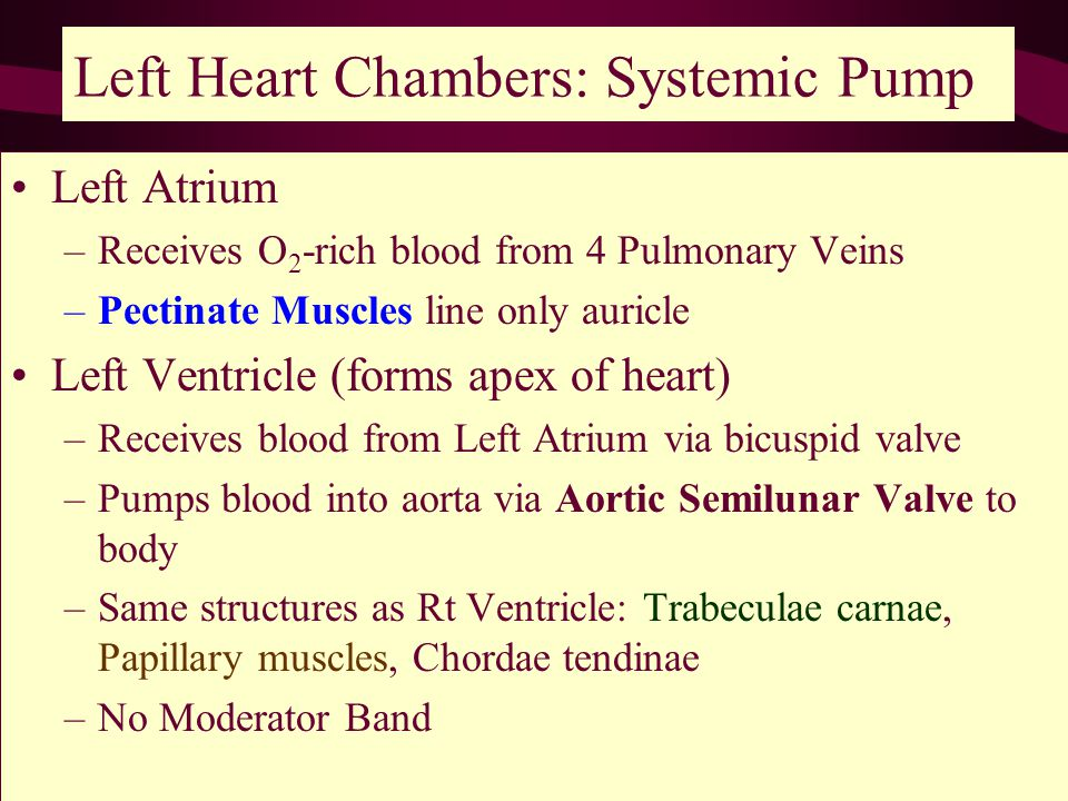 Left Heart Chambers: Systemic Pump Left Atrium –Receives O 2 -rich blood from 4 Pulmonary Veins –Pectinate Muscles line only auricle Left Ventricle (forms apex of heart) –Receives blood from Left Atrium via bicuspid valve –Pumps blood into aorta via Aortic Semilunar Valve to body –Same structures as Rt Ventricle: Trabeculae carnae, Papillary muscles, Chordae tendinae –No Moderator Band