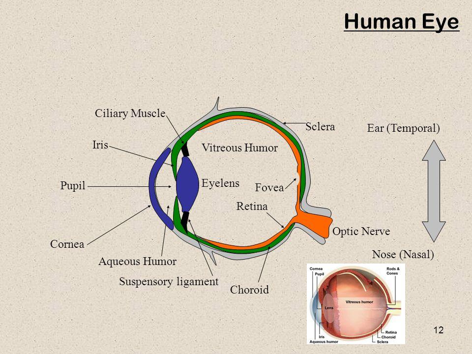 12 Human Eye Ear (Temporal) Nose (Nasal) Cornea Aqueous Humor Pupil Iris Ciliary Muscle Sclera Fovea Retina Optic Nerve Vitreous Humor Eyelens Choroid Suspensory ligament
