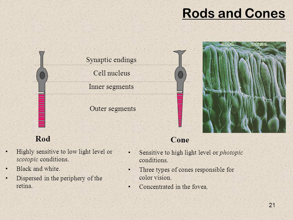 21 Rods and Cones Highly sensitive to low light level or scotopic conditions.