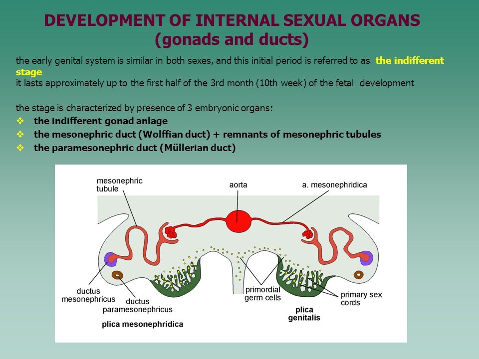 the early genital system is similar in both sexes, and this initial period is referred to as the indifferent stage it lasts approximately up to the fi