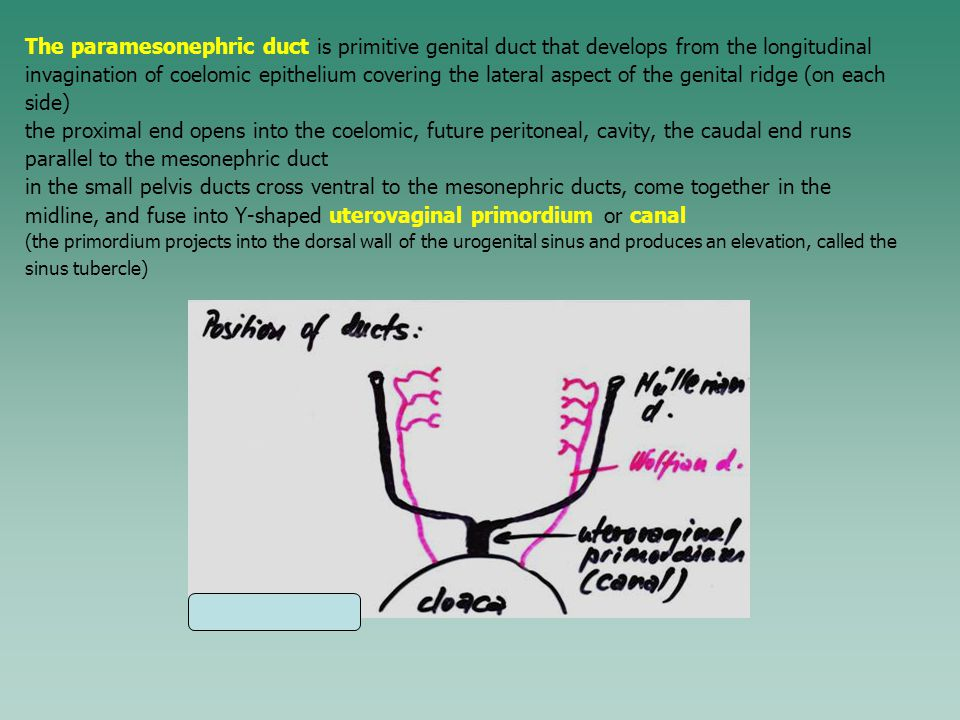 The paramesonephric duct is primitive genital duct that develops from the longitudinal invagination of coelomic epithelium covering the lateral aspect