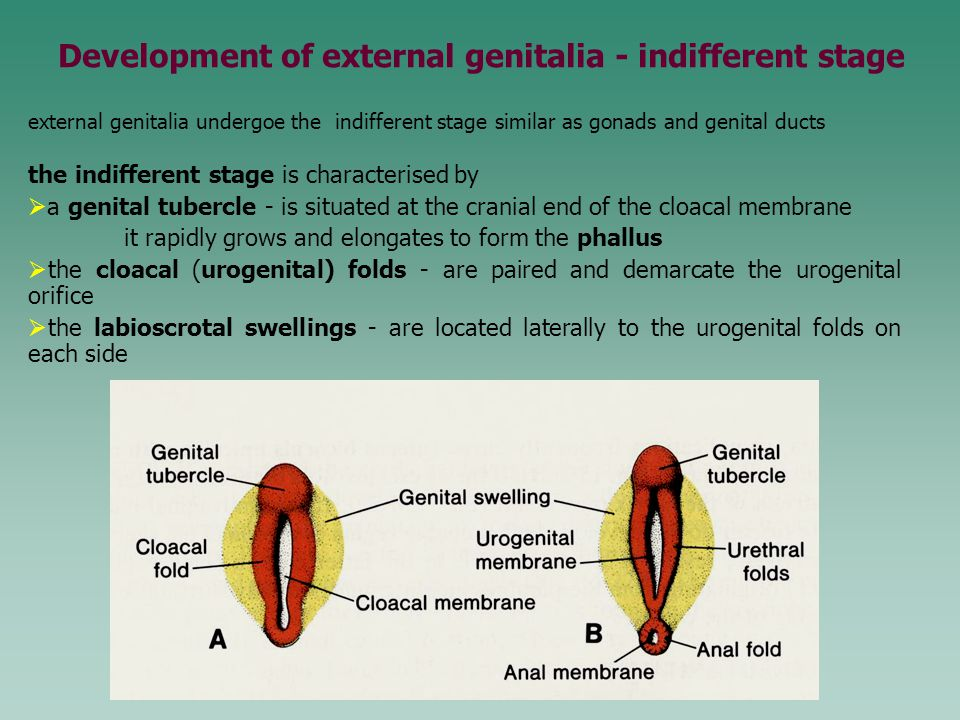 external genitalia undergoe the indifferent stage similar as gonads and genital ducts the indifferent stage is characterised by  a genital tubercle -