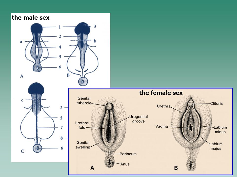 the female sex the male sex