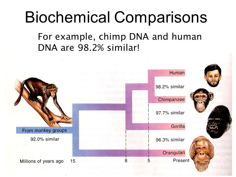 Biochemical Comparisons For example, chimp DNA and human DNA are 98.2% similar!