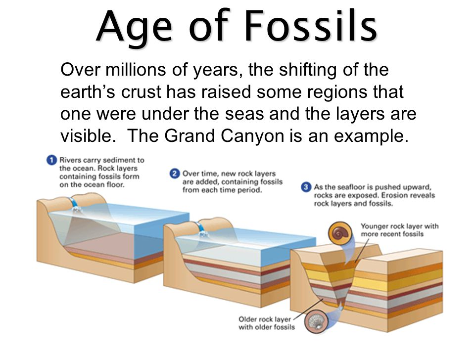 Age of Fossils What can you conclude about the age of these organisms in the layers of sedimentary rock?