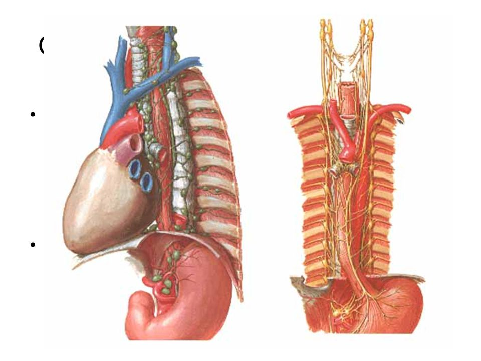 Oesophagus – Lymph and Nerves Lymph: nodes or directly into ductus thoracicus –n.l. cervicales prof. –n.l. juxtaoesophageales + paravertebrales (= n.l