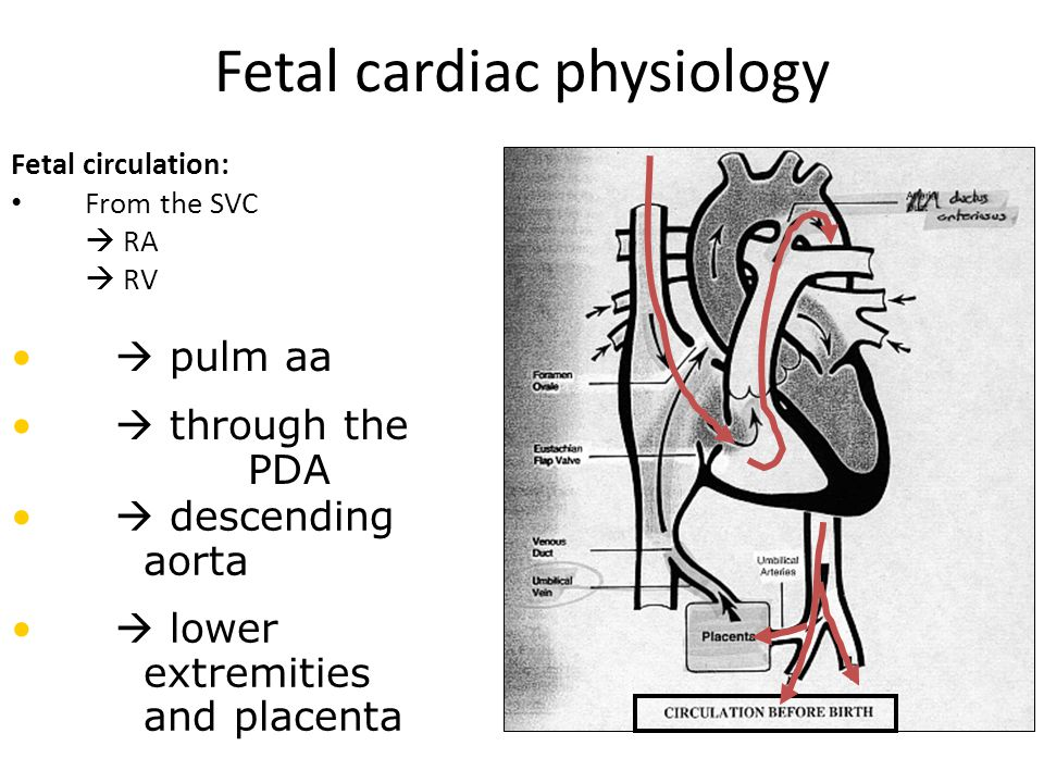 Ductus Arteriosus Fetal Circulation Component – Connects Pulmonary Artery to Aorta – Shunts blood away from lungs – Maintained patent by presence of prostaglandins Closure secondary to: – Increase in PaO 2_ – Decrease in level of prostaglandins