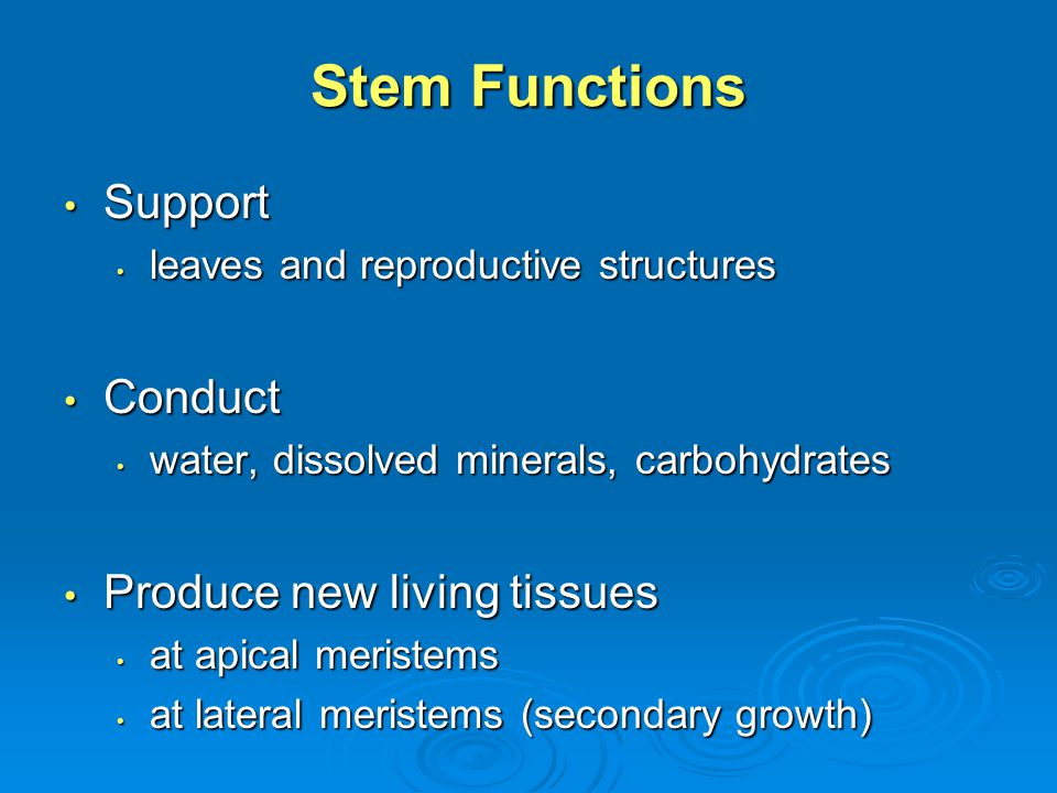 KEY TERMS VASCULAR CAMBIUM VASCULAR CAMBIUM A lateral meristem that produces secondary xylem (wood) to the inside and secondary phloem (inner bark) to the outside A lateral meristem that produces secondary xylem (wood) to the inside and secondary phloem (inner bark) to the outside
