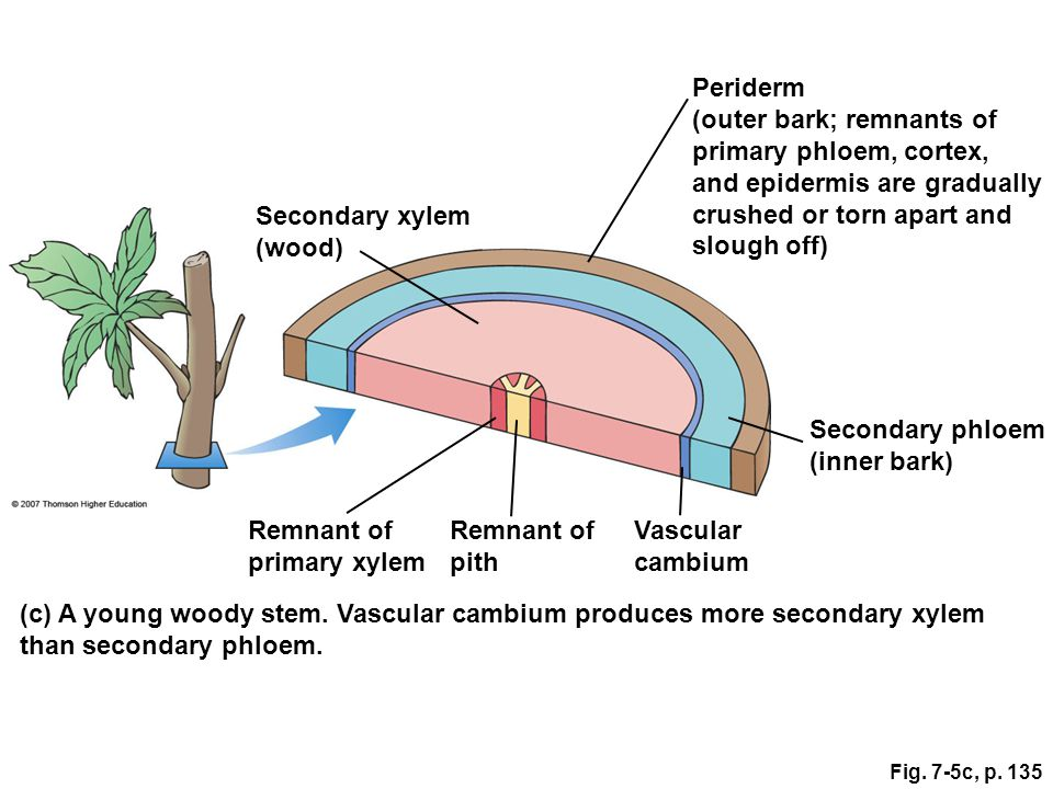Secondary xylem (wood) Remnant of primary xylem Remnant of pith Vascular cambium Secondary phloem (inner bark) Periderm (outer bark; remnants of prima
