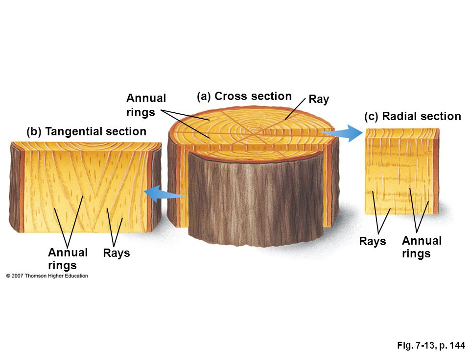 Annual rings Rays Annual rings (c) Radial section Ray (a) Cross section Annual rings (b) Tangential section Fig. 7-13, p. 144