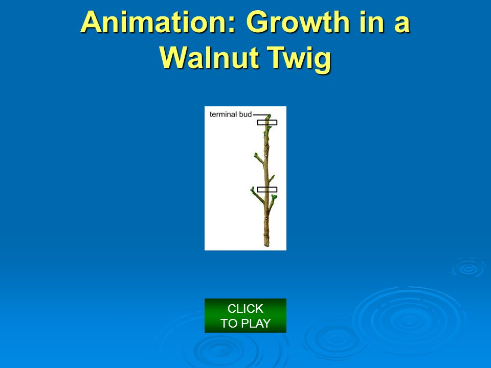 Animation: Growth in a Walnut Twig CLICK TO PLAY