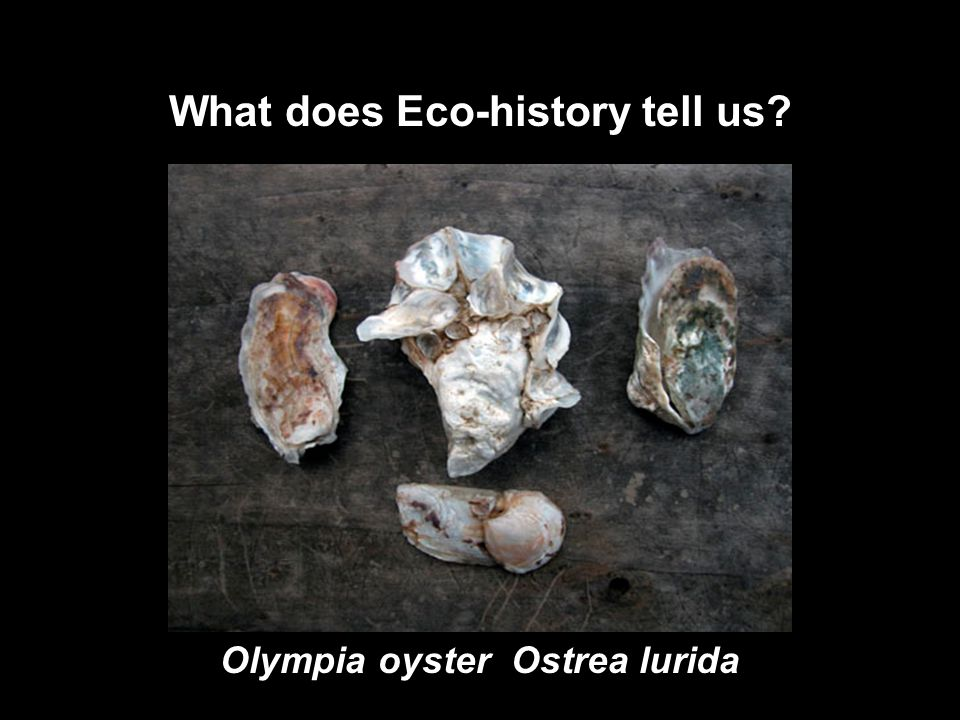 Olympia oyster Ostrea lurida What does Eco-history tell us