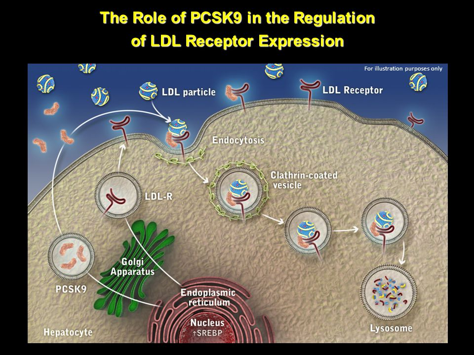 The Role of PCSK9 in the Regulation of LDL Receptor Expression For illustration purposes only