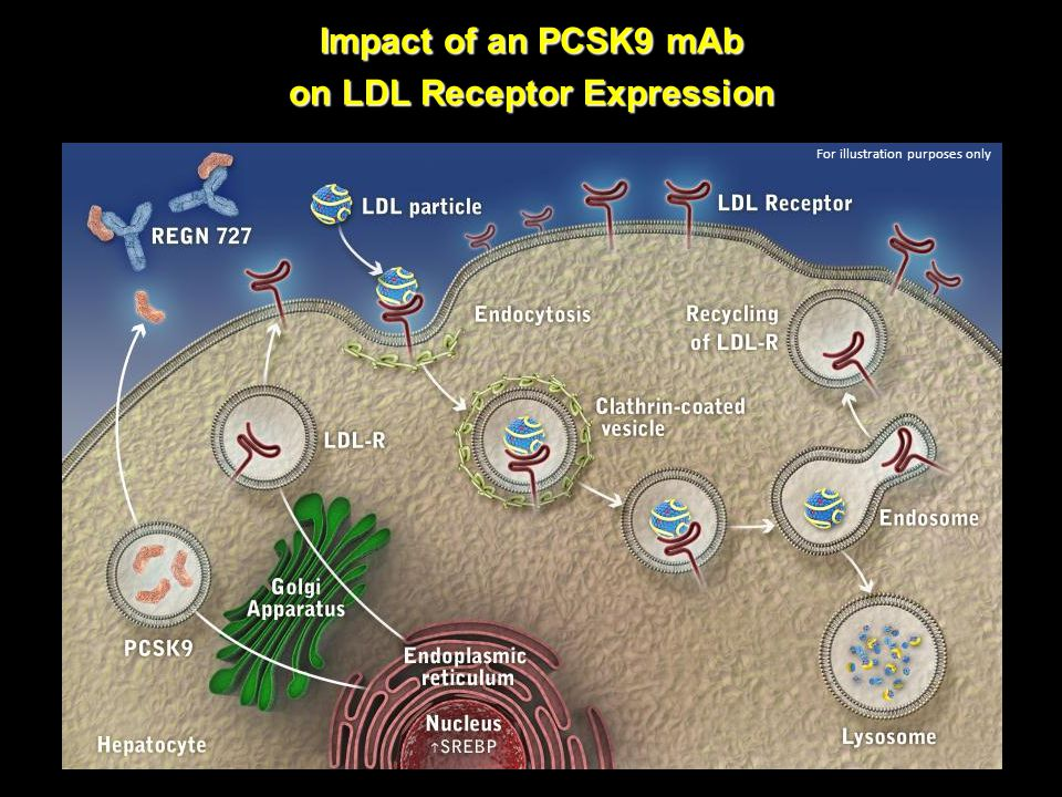 Impact of an PCSK9 mAb on LDL Receptor Expression For illustration purposes only