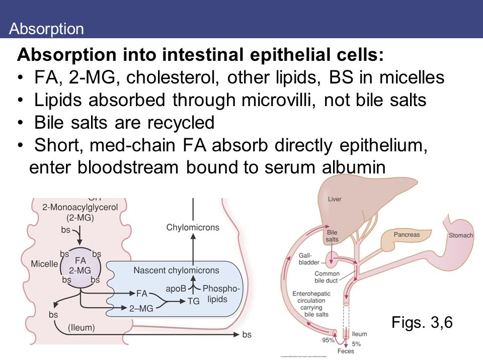 Absorption Figs. 3,6 Absorption into intestinal epithelial cells: FA, 2-MG, cholesterol, other lipids, BS in micelles Lipids absorbed through microvil