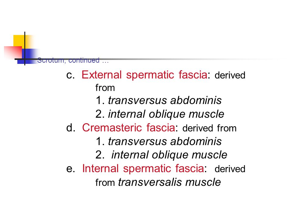 Scrotum, continued … c. External spermatic fascia: derived from 1. transversus abdominis 2. internal oblique muscle d. Cremasteric fascia: derived fro
