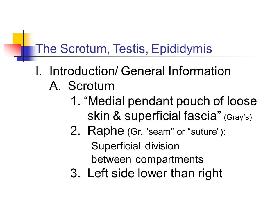 "The Scrotum, Testis, Epididymis I.Introduction/ General Information A. Scrotum 1. ""Medial pendant pouch of loose skin & superficial fascia"" (Gray's) 2"