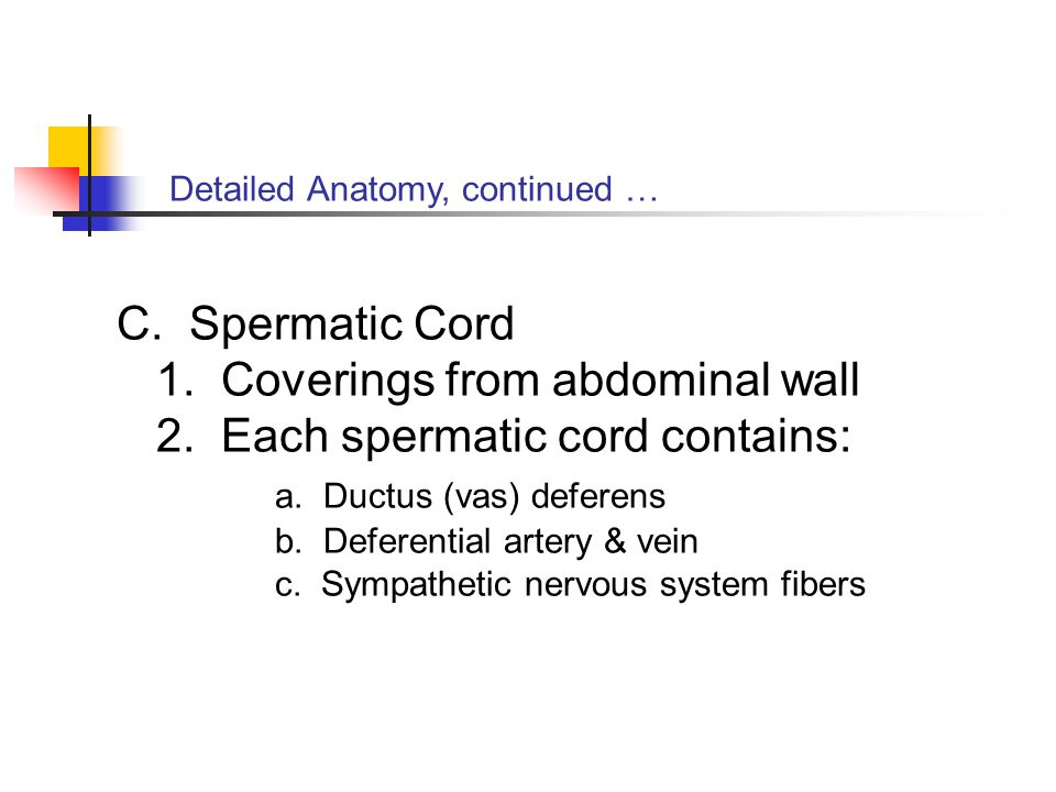 Detailed Anatomy, continued … C. Spermatic Cord 1. Coverings from abdominal wall 2. Each spermatic cord contains: a. Ductus (vas) deferens b. Deferent