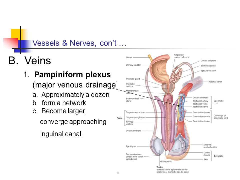 Vessels & Nerves, con't … B. Veins 1. Pampiniform plexus (major venous drainage) a. Approximately a dozen b. form a network c. Become larger, converge