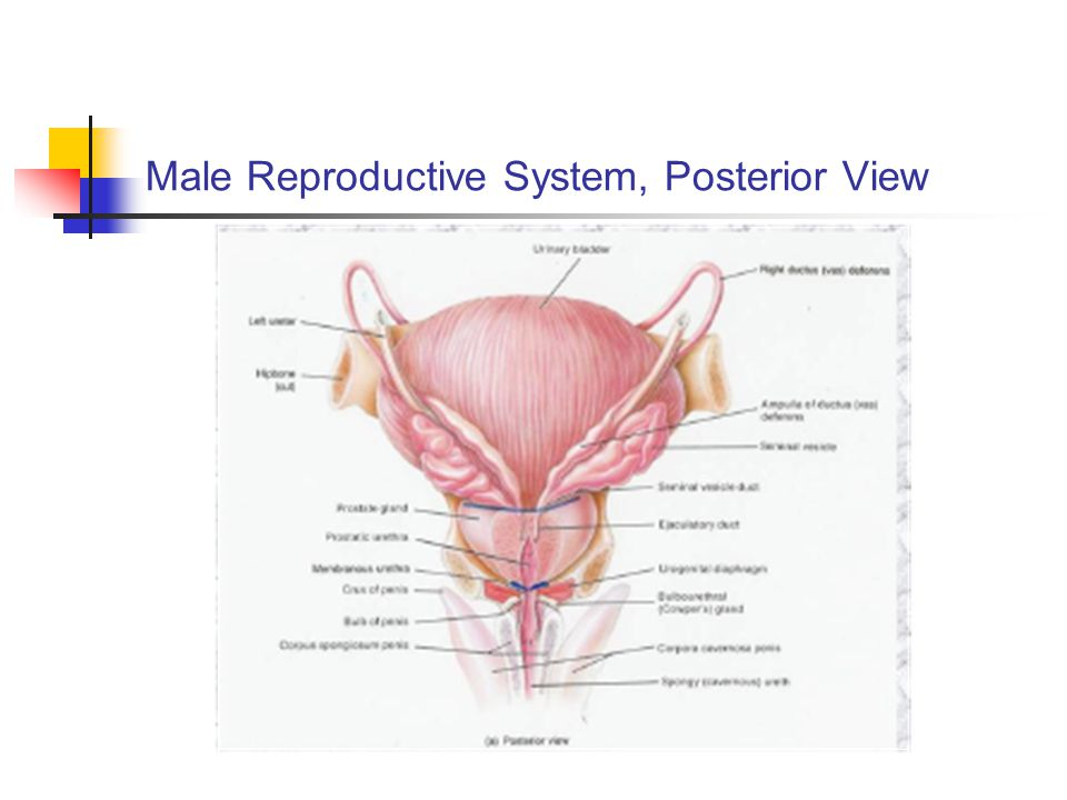 Male Reproductive System, Posterior View