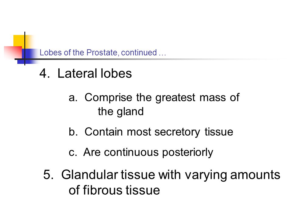 Lobes of the Prostate, continued … 4. Lateral lobes a. Comprise the greatest mass of the gland b. Contain most secretory tissue c. Are continuous post