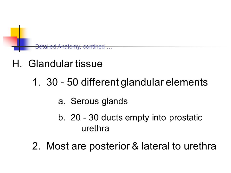 Detailed Anatomy, contined … H. Glandular tissue 1. 30 - 50 different glandular elements a. Serous glands b. 20 - 30 ducts empty into prostatic urethr
