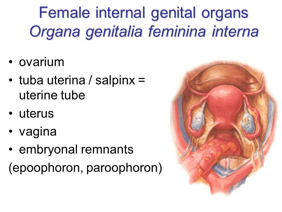 Female internal genital organs Organa genitalia feminina interna ovarium tuba uterina / salpinx = uterine tube uterus vagina embryonal remnants (epoophoron, paroophoron)