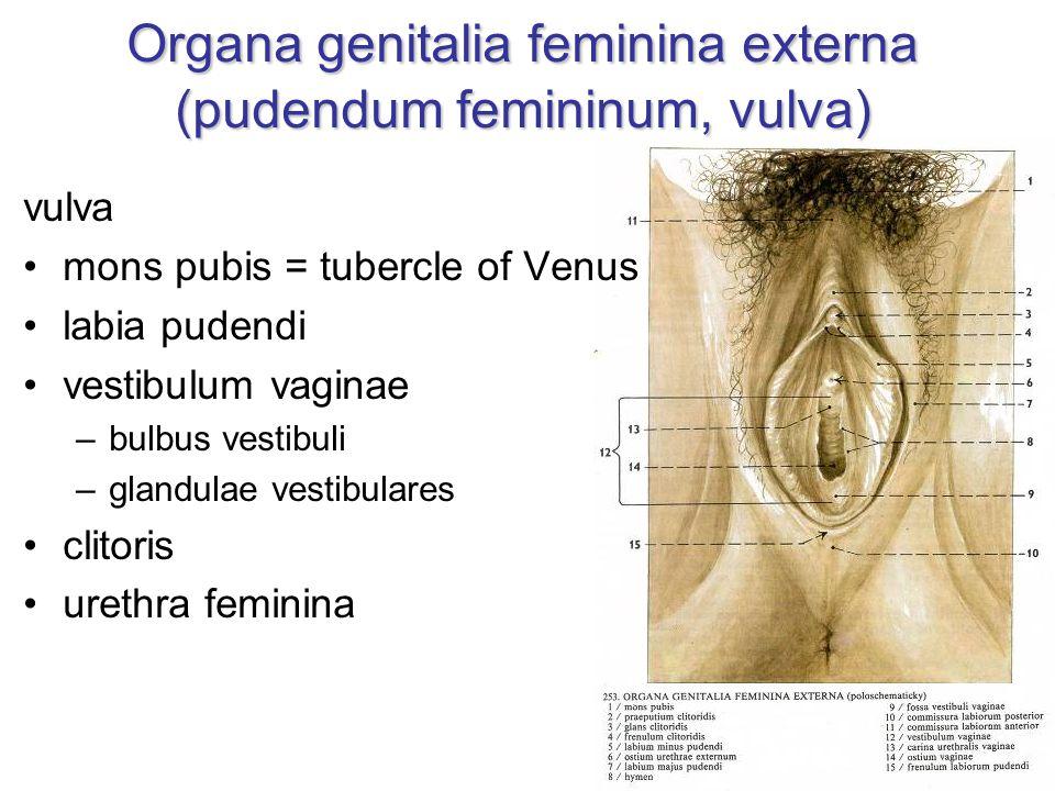 Organa genitalia feminina externa (pudendum femininum, vulva) vulva mons pubis = tubercle of Venus labia pudendi vestibulum vaginae –bulbus vestibuli –glandulae vestibulares clitoris urethra feminina