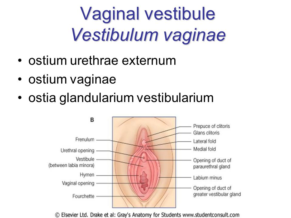 Vaginal vestibule Vestibulum vaginae ostium urethrae externum ostium vaginae ostia glandularium vestibularium