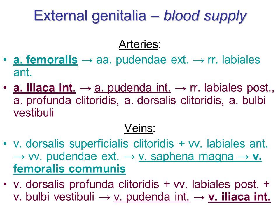 External genitalia – blood supply Arteries: a.femoralis → aa.