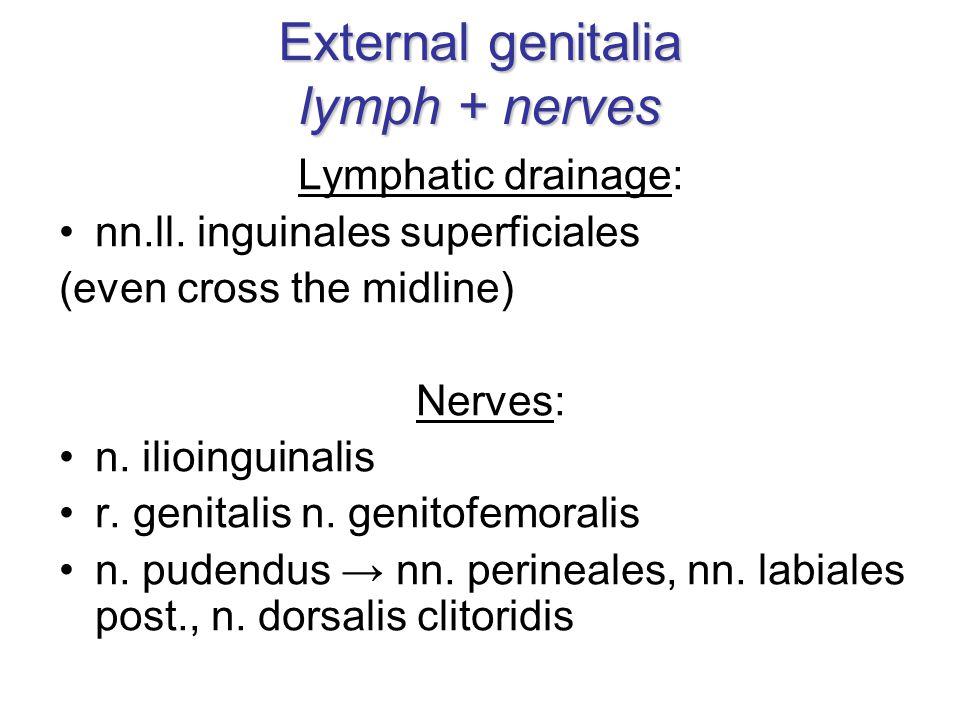 External genitalia lymph + nerves Lymphatic drainage: nn.ll.