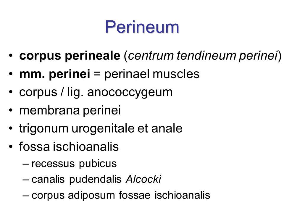 Perineum corpus perineale (centrum tendineum perinei) mm.