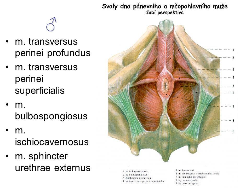 ♂ m.transversus perinei profundus m. transversus perinei superficialis m.