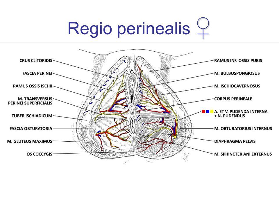 ♀ Regio perinealis ♀