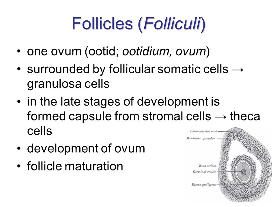 Follicles (Folliculi) one ovum (ootid; ootidium, ovum) surrounded by follicular somatic cells → granulosa cells in the late stages of development is formed capsule from stromal cells → theca cells development of ovum follicle maturation